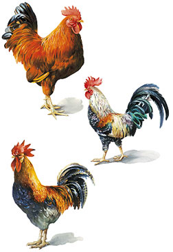 roosters-3
